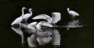 Egrets Royalty Free Stock Photo