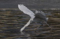 Egrets and herons Royalty Free Stock Photos