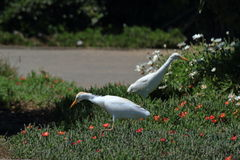Egrets while hunting for insects Royalty Free Stock Images