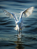 Egrets are hunting Stock Photography