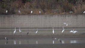 Egrets i czaple zbiory