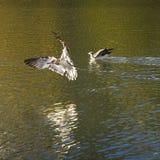 Egrets latają wolno wokoło Potala pałac Obrazy Royalty Free