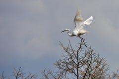 Egrets latają Zdjęcia Royalty Free