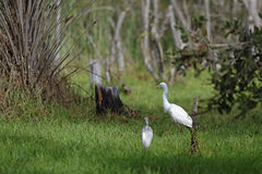 The egrets Stock Photos