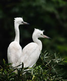 Egrets. The egrets are looking around Royalty Free Stock Photos