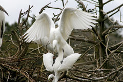 Egrets mating at Harris Neck refuge in Georgia. Royalty Free Stock Images