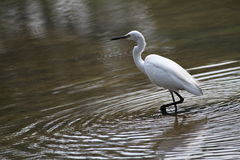 Egrets  1. Migratory birds of the family: egrets Royalty Free Stock Photo