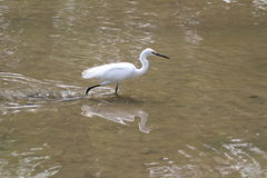 Egrets 2. Migratory birds of the family: egrets Stock Photos