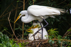 Egrets On Nest Stock Photo