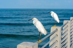 Egrets nevado Fotos de Stock Royalty Free