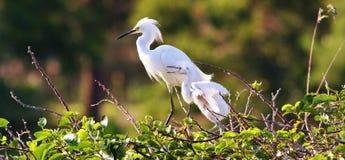 Egrets nevado Fotografia de Stock Royalty Free