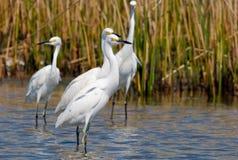 Egrets nevados Foto de archivo