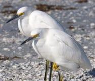 Egrets nevados Imagen de archivo libre de regalías