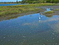 Egrets newport beach plecy zatoka Zdjęcie Stock