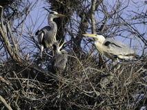 Egrets in nido immagini stock