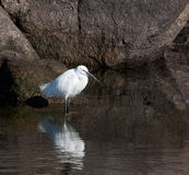 Egrets of the Nile Stock Images