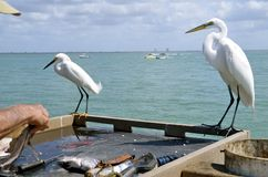 Egrets observe fish cleaning Stock Images