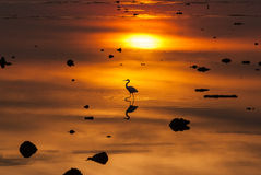 Egrets play in sunset Stock Photography