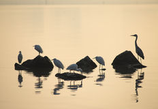 Egrets play in sunset Royalty Free Stock Images