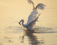 Egrets play in sunset Stock Image