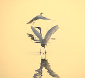 Egrets play in sunset Stock Photos