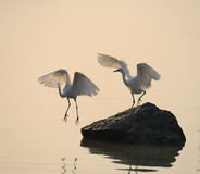Egrets play in sunset Royalty Free Stock Image