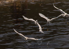 Egrets play Royalty Free Stock Photos