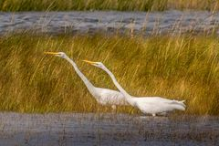 Egrets pointing the way royalty free stock photography
