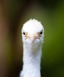 Egrets que miran en usted Fotografía de archivo