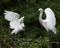 Egrets are Quivering their Wings. Two egrets, mother and child,  are quivering their wings Stock Photography
