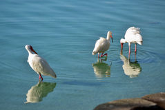 Egrets in Shallow Water royalty free stock images