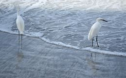 Egrets on the shore. Two egrets stand in the surf Royalty Free Stock Photo