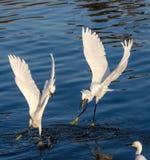 Egrets Snowy воюя один другого Стоковые Изображения