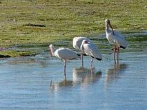 Egrets Snowy на ' Ding' Охраняемая природная территория милочки национальная стоковое фото