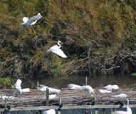 2 Egrets Snowy около к земле Стоковые Фотографии RF