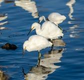 Egrets Snowy Стоковая Фотография