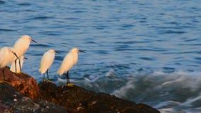 Egrets Snowy видеоматериал