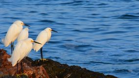 Egrets Snowy акции видеоматериалы