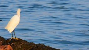 Egrets Snowy сток-видео