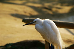 Egrets Royalty Free Stock Image