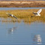 egrets som flyger två Arkivfoto