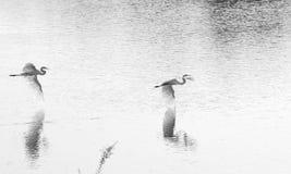 egrets som utmärkt flyger Royaltyfri Bild