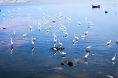 Egrets stand and wait for fish crab shrimp and seafood flow by e. Egret group stand and wait for fish crab shrimp and seafood flow by ebb tide royalty free stock image