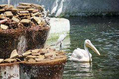 Egrets and pelican at the egyptian zoo Royalty Free Stock Photo