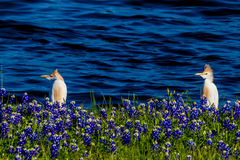Egrets in Texas Bluebonnets at Lake Travis at Muleshoe Bend in T Royalty Free Stock Photos