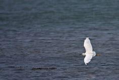 egrets trochę Zdjęcie Stock