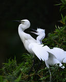 Egrets. Two egrets, mother and child Stock Image