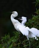 Egrets Stock Image