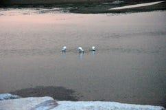 Egrets w riverbanks Douro przy zmierzchem Zdjęcie Stock