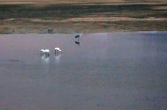 Egrets w riverbanks przy zmierzchem Zdjęcia Royalty Free